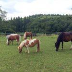 Ponys grasend